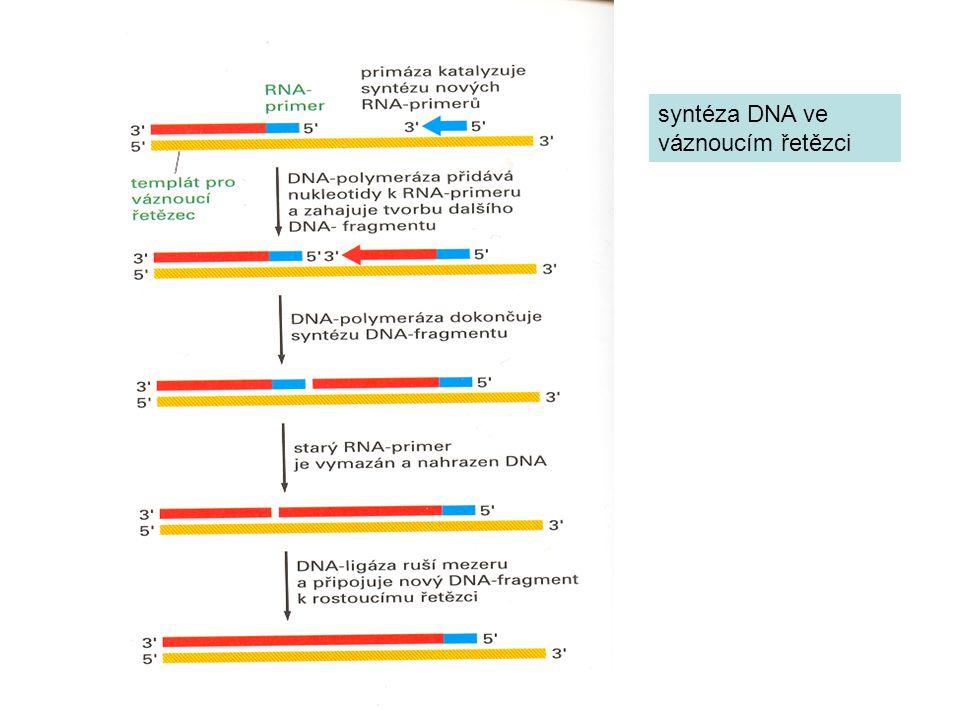 syntéza DNA ve váznoucím řetězci