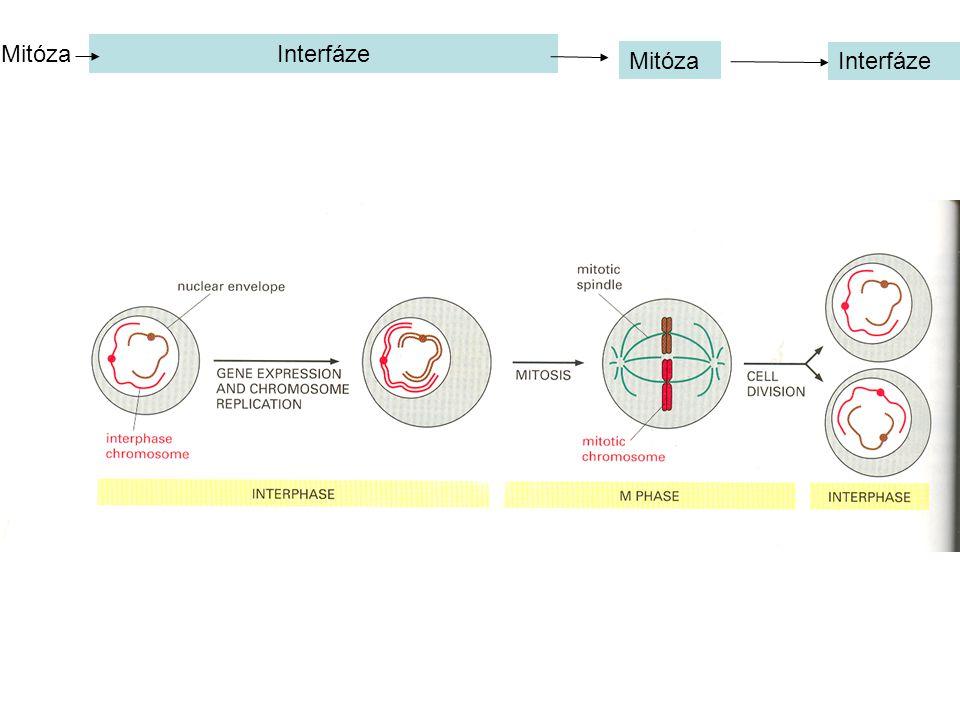 Interfáze Mitóza