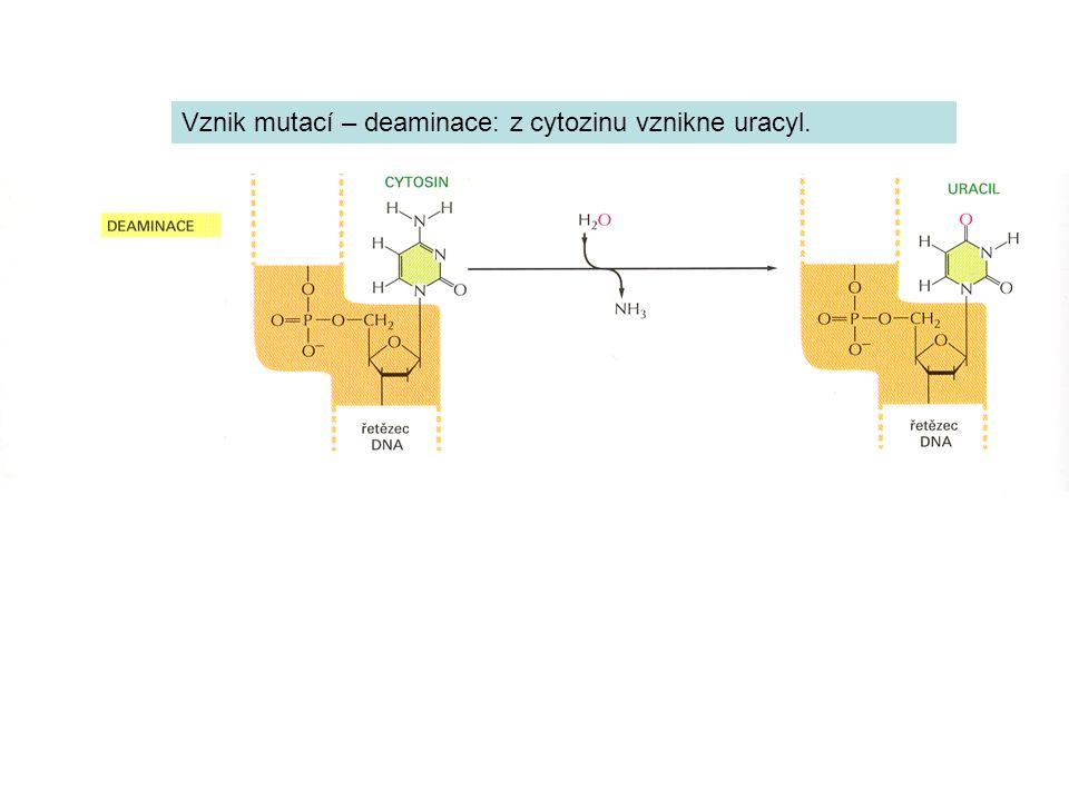 Vznik mutací – deaminace: z cytozinu vznikne uracyl.