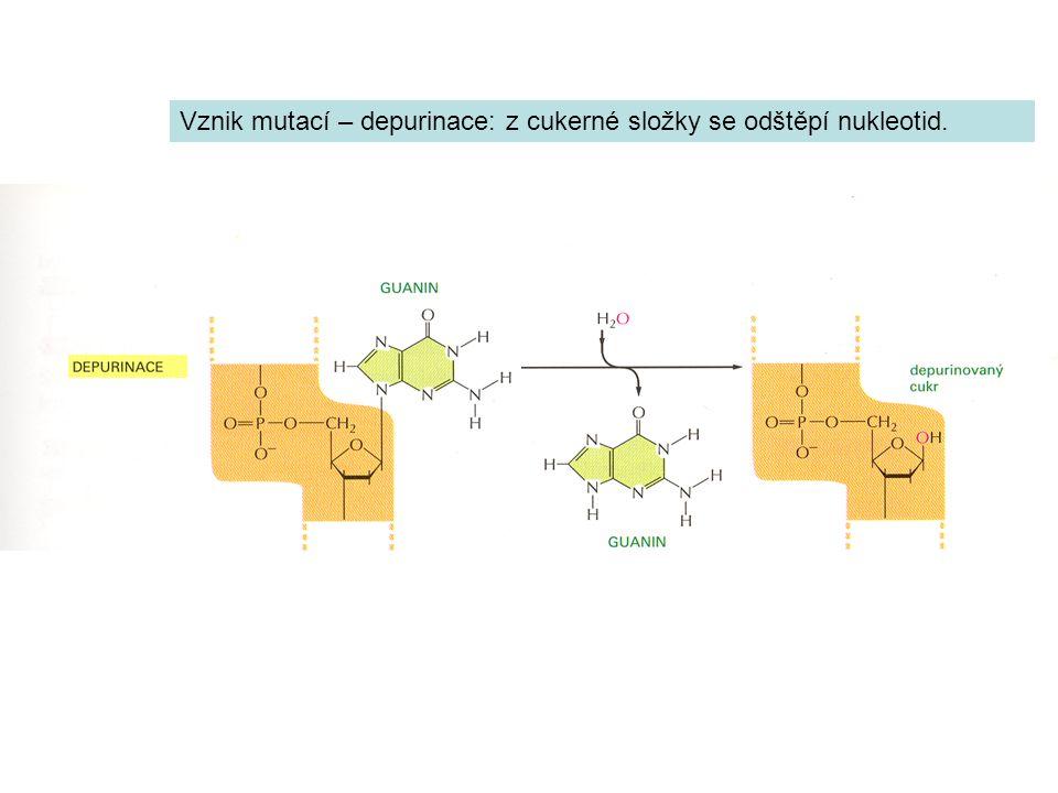 Vznik mutací – depurinace: z cukerné složky se odštěpí nukleotid.