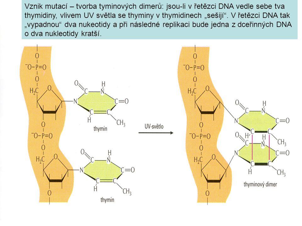 """Vznik mutací – tvorba tyminových dimerů: jsou-li v řetězci DNA vedle sebe tva thymidiny, vlivem UV světla se thyminy v thymidinech """"sešijí ."""