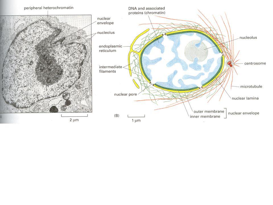 Jadérko – místo pro transkripci RNA pro ribosomy