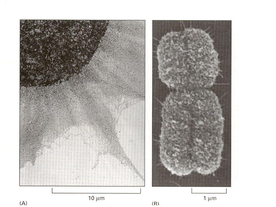 Sbalování DNA kolem histonů Animace: 4 MB