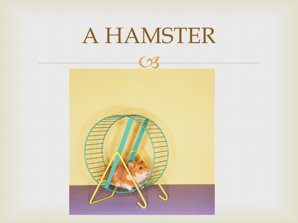  A HAMSTER