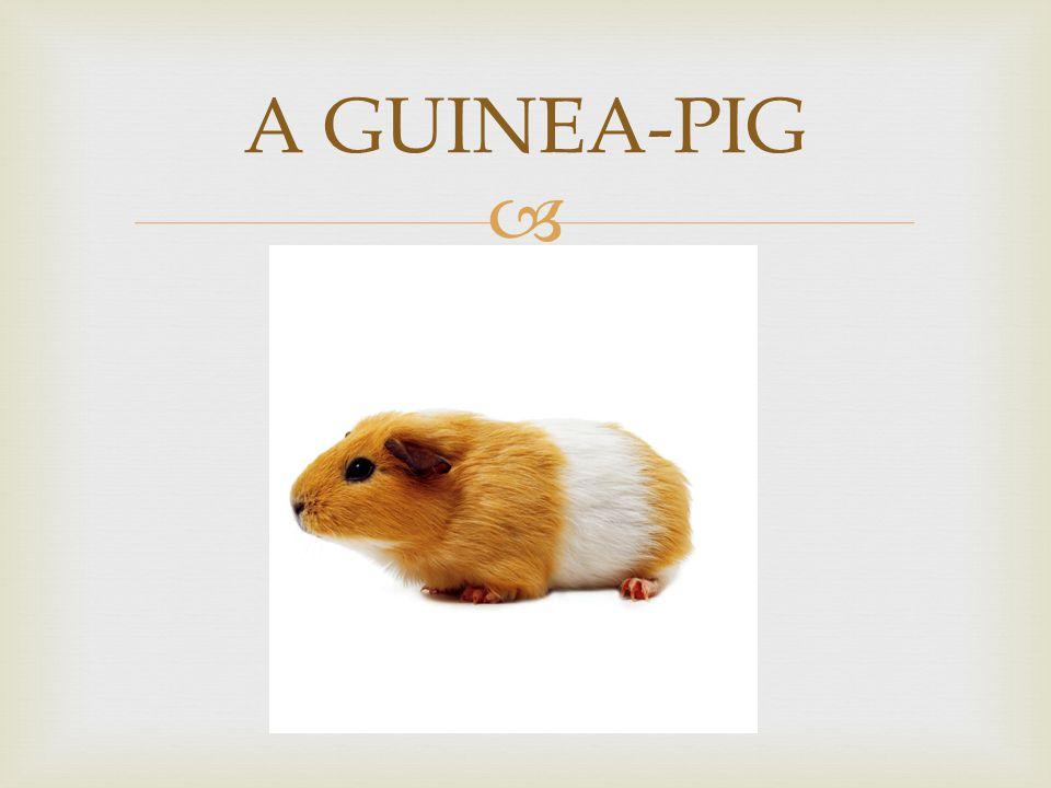  A GUINEA-PIG
