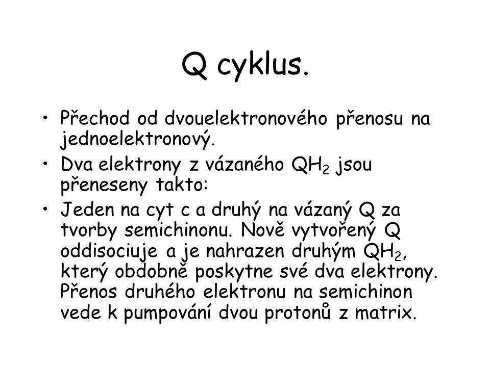 Q cyklus. Přechod od dvouelektronového přenosu na jednoelektronový. Dva elektrony z vázaného QH 2 jsou přeneseny takto: Jeden na cyt c a druhý na váza