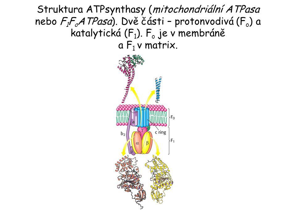 Struktura ATPsynthasy (mitochondriální ATPasa nebo F 1 F o ATPasa). Dvě části – protonvodivá (F o ) a katalytická (F 1 ). F o je v membráně a F 1 v ma