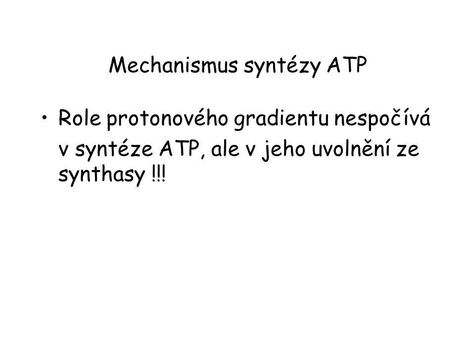 Mechanismus syntézy ATP Role protonového gradientu nespočívá v syntéze ATP, ale v jeho uvolnění ze synthasy !!!