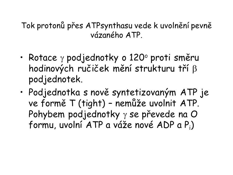 Tok protonů přes ATPsynthasu vede k uvolnění pevně vázaného ATP. Rotace  podjednotky o 120 o proti směru hodinových ručiček mění strukturu tří  podj