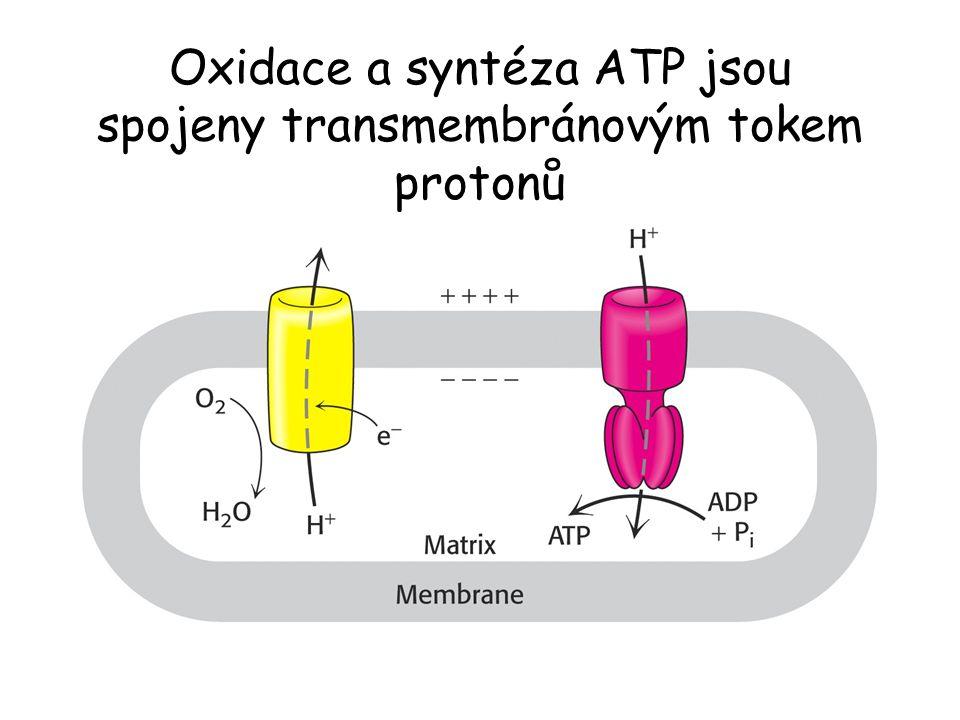 Oxidace a syntéza ATP jsou spojeny transmembránovým tokem protonů