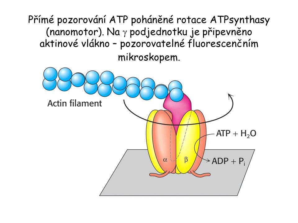 Přímé pozorování ATP poháněné rotace ATPsynthasy (nanomotor). Na  podjednotku je připevněno aktinové vlákno – pozorovatelné fluorescenčním mikroskope