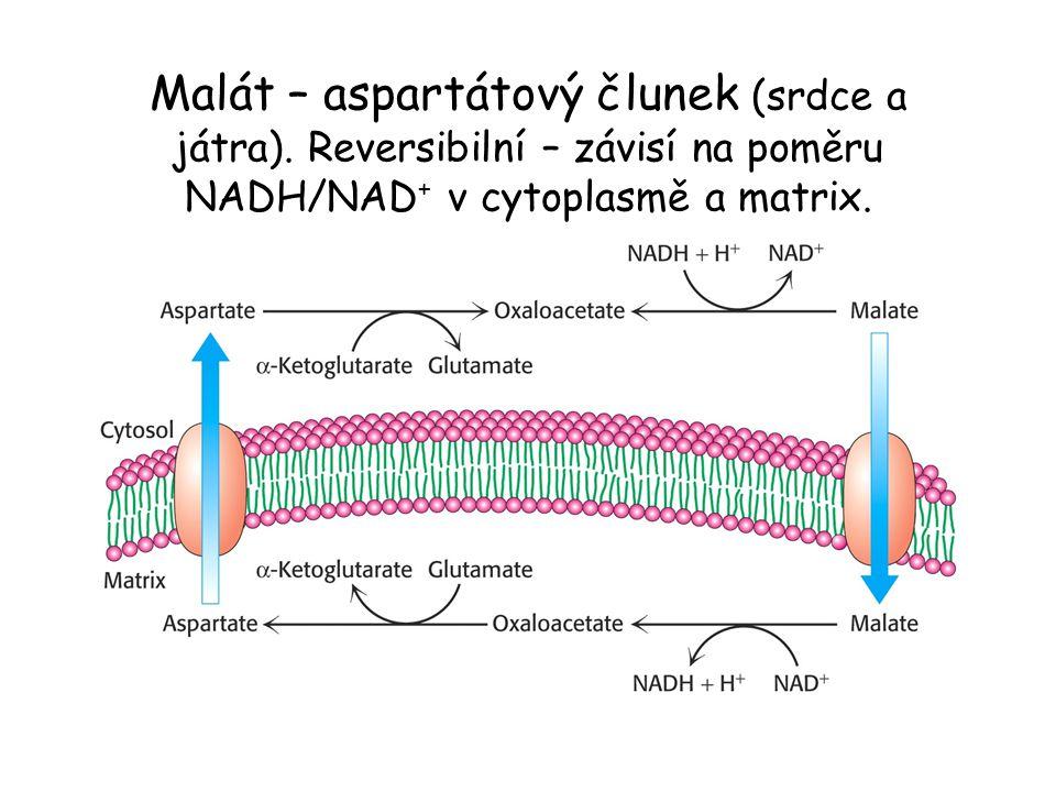 Malát – aspartátový člunek (srdce a játra). Reversibilní – závisí na poměru NADH/NAD + v cytoplasmě a matrix.