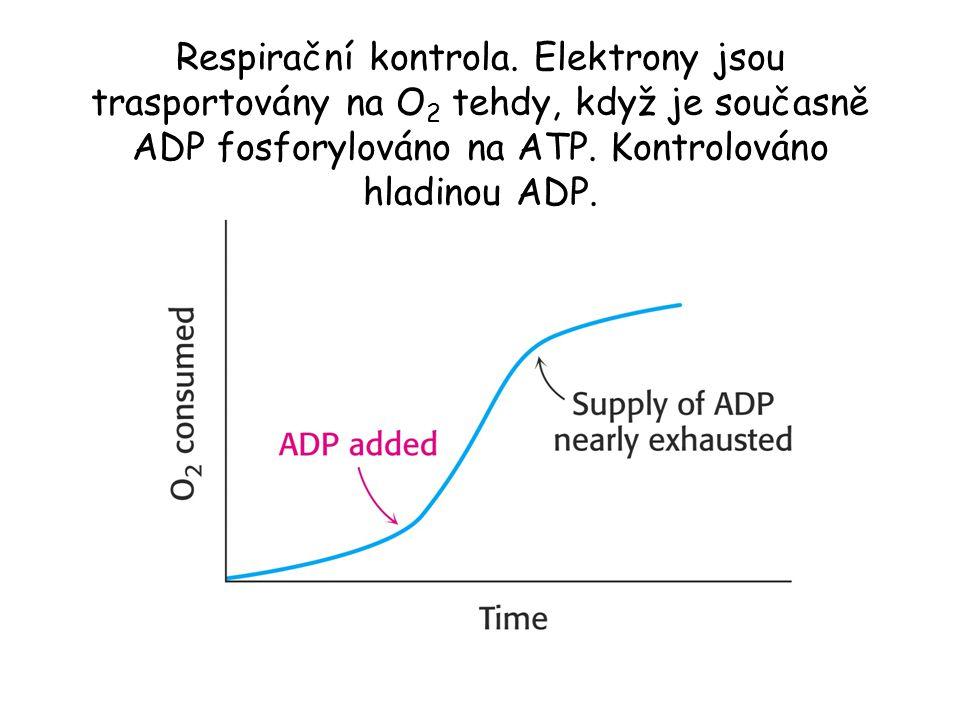 Respirační kontrola. Elektrony jsou trasportovány na O 2 tehdy, když je současně ADP fosforylováno na ATP. Kontrolováno hladinou ADP.