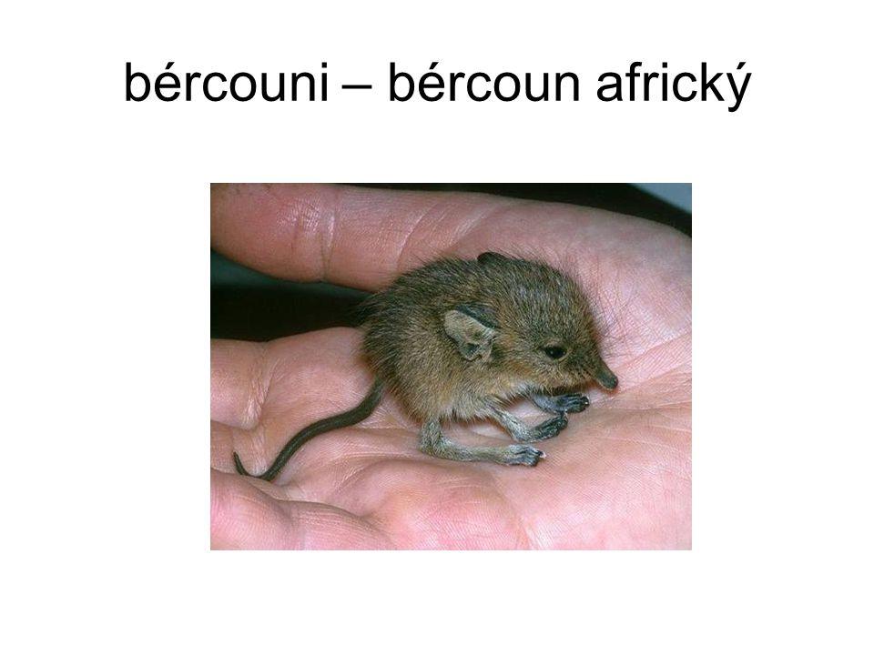 bércouni – bércoun africký