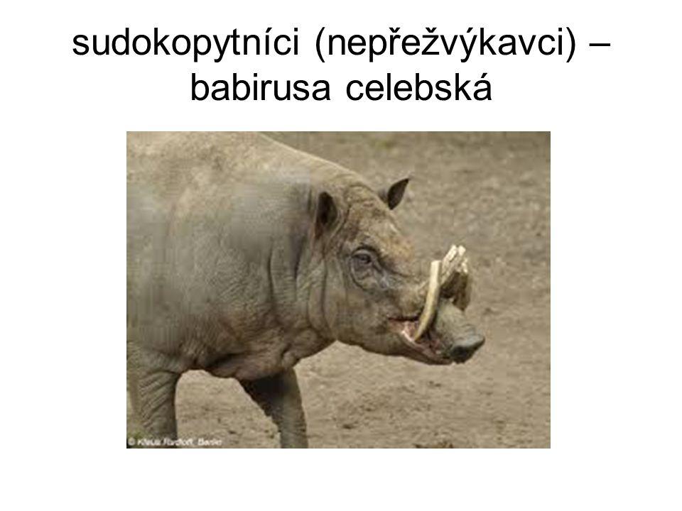 sudokopytníci (nepřežvýkavci) – babirusa celebská