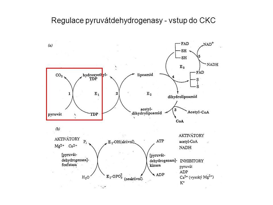 Regulace pyruvátdehydrogenasy - vstup do CKC