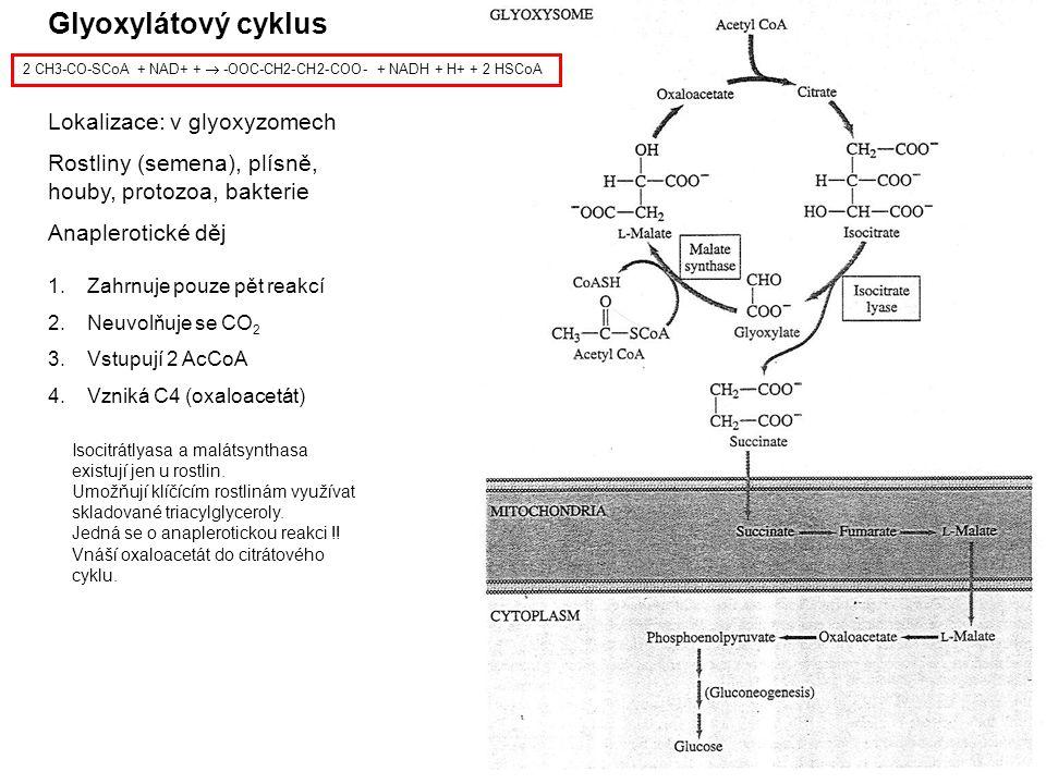 Glyoxylátový cyklus Lokalizace: v glyoxyzomech Rostliny (semena), plísně, houby, protozoa, bakterie Anaplerotické děj 2 CH3-CO-SCoA + NAD+ +  -OOC-CH2-CH2-COO- + NADH + H+ + 2 HSCoA 1.Zahrnuje pouze pět reakcí 2.Neuvolňuje se CO 2 3.Vstupují 2 AcCoA 4.Vzniká C4 (oxaloacetát) Isocitrátlyasa a malátsynthasa existují jen u rostlin.