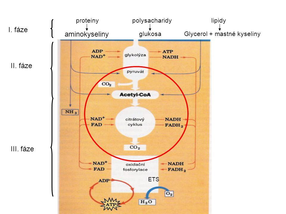 proteiny aminokyseliny polysacharidy glukosa lipidy Glycerol + mastné kyseliny I.