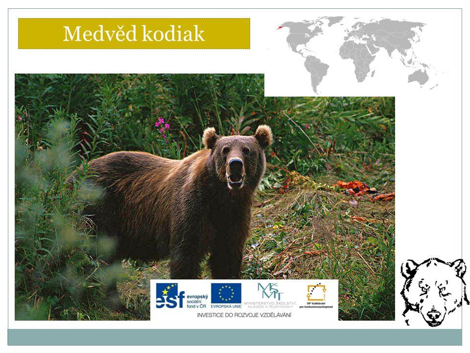 Medvěd kodiak