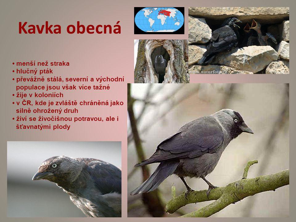 Kavka obecná menší než straka hlučný pták převážně stálá, severní a východní populace jsou však více tažné žije v koloniích v ČR, kde je zvláště chráněná jako silně ohrožený druh živí se živočišnou potravou, ale i šťavnatými plody