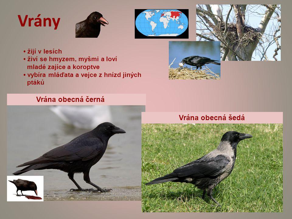 Vrány Vrána obecná černá Vrána obecná šedá žijí v lesích živí se hmyzem, myšmi a loví mladé zajíce a koroptve vybíra mláďata a vejce z hnízd jiných ptáků