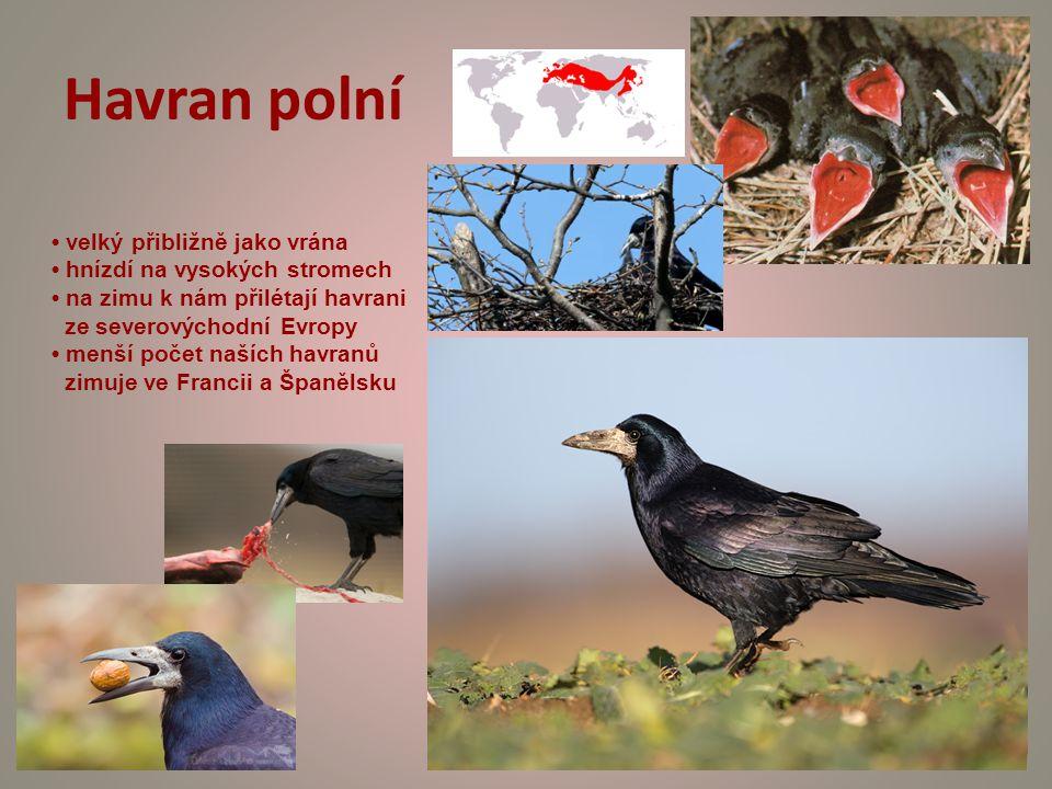 Havran polní velký přibližně jako vrána hnízdí na vysokých stromech na zimu k nám přilétají havrani ze severovýchodní Evropy menší počet naších havranů zimuje ve Francii a Španělsku