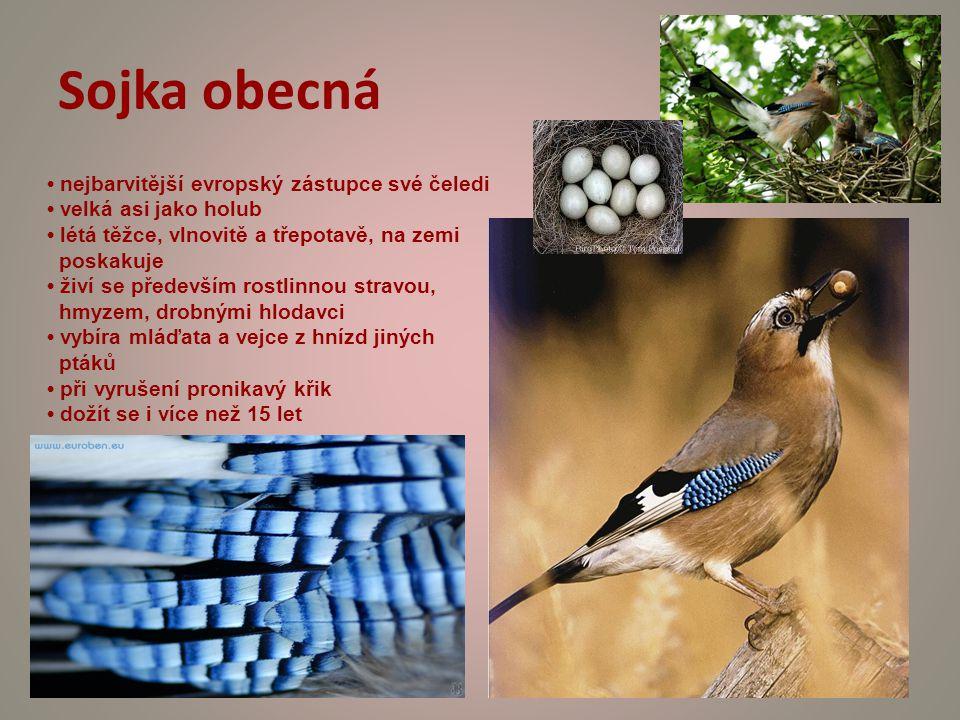 Sojka obecná nejbarvitější evropský zástupce své čeledi velká asi jako holub létá těžce, vlnovitě a třepotavě, na zemi poskakuje živí se především rostlinnou stravou, hmyzem, drobnými hlodavci vybíra mláďata a vejce z hnízd jiných ptáků při vyrušení pronikavý křik dožít se i více než 15 let