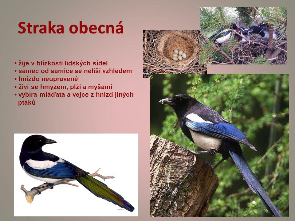 Straka obecná žije v blízkosti lidských sídel samec od samice se neliší vzhledem hnízdo neupravené živí se hmyzem, plži a myšami vybíra mláďata a vejce z hnízd jiných ptáků