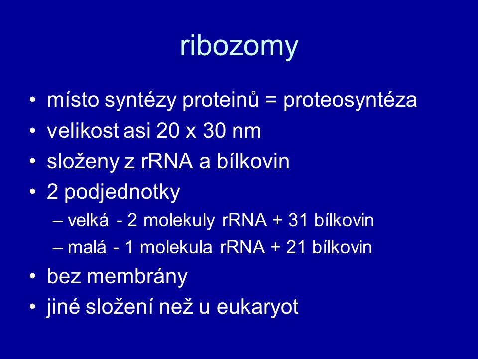 ribozomy místo syntézy proteinů = proteosyntéza velikost asi 20 x 30 nm složeny z rRNA a bílkovin 2 podjednotky –velká - 2 molekuly rRNA + 31 bílkovin –malá - 1 molekula rRNA + 21 bílkovin bez membrány jiné složení než u eukaryot