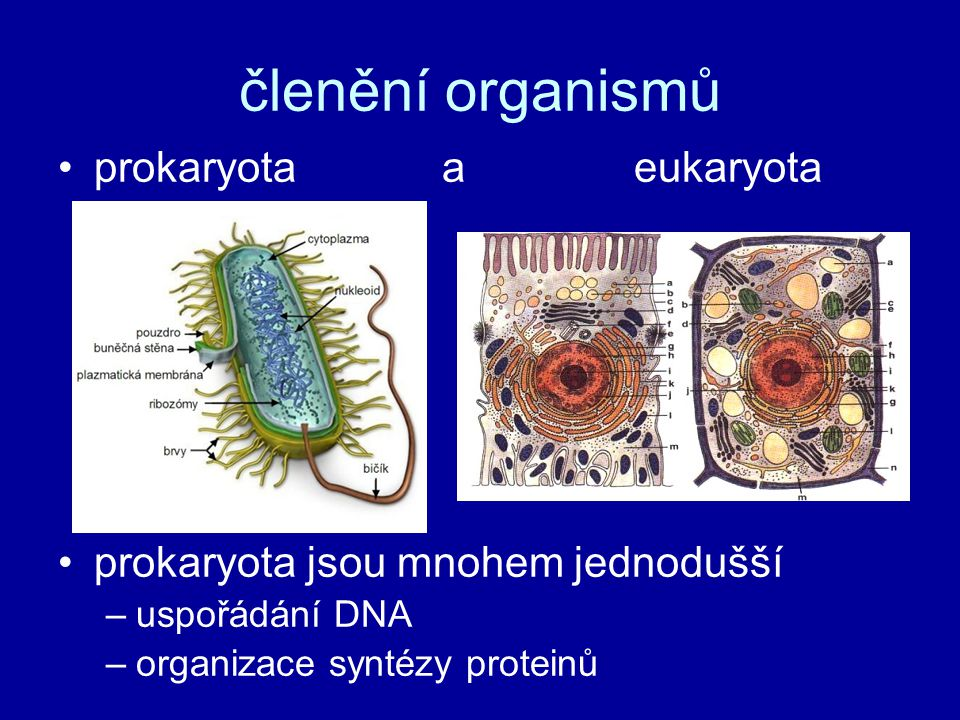Prokaryota název z řeckého pro (před) a karyon (jádro) → prvojaderní vznik před 3,5 - 3 mld let → zřejmě nejstarší organismy na Zemi nejméně 2 mld let převládaly prokaryota → poté se objevily eukaryota (zřejmě vývoj právě z bakterií) → PROKARYOTNÍ BUŇKA