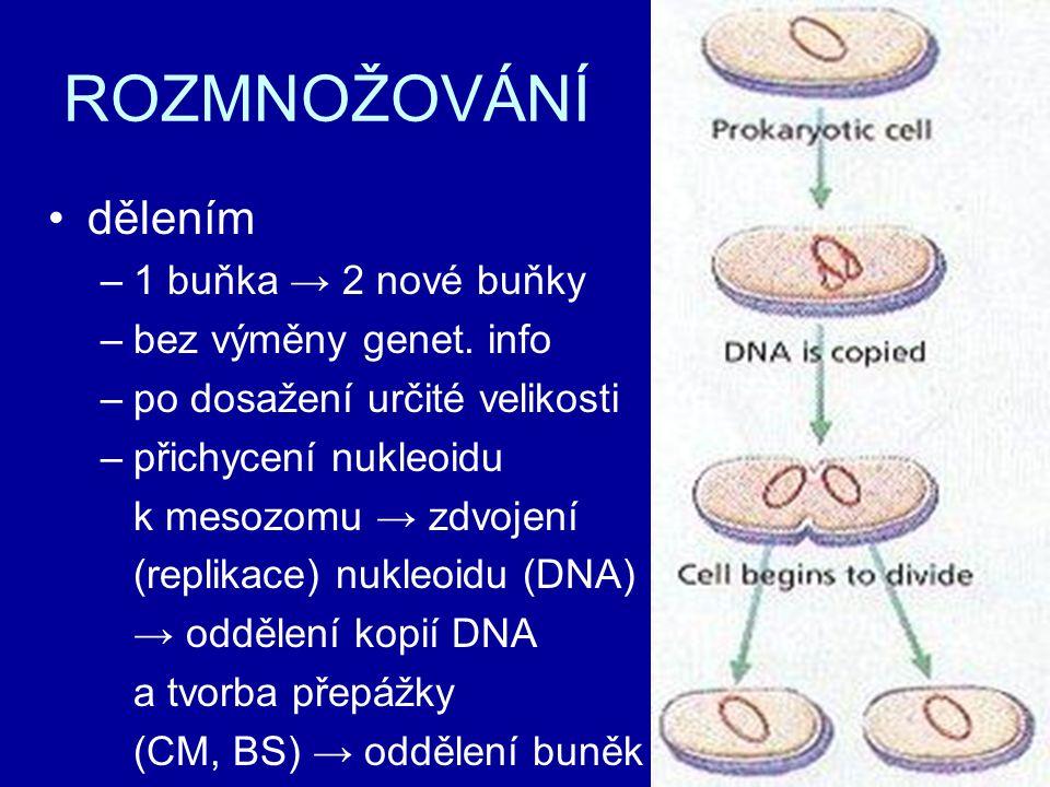 ROZMNOŽOVÁNÍ dělením –1 buňka → 2 nové buňky –bez výměny genet. info –po dosažení určité velikosti –přichycení nukleoidu k mesozomu → zdvojení (replik