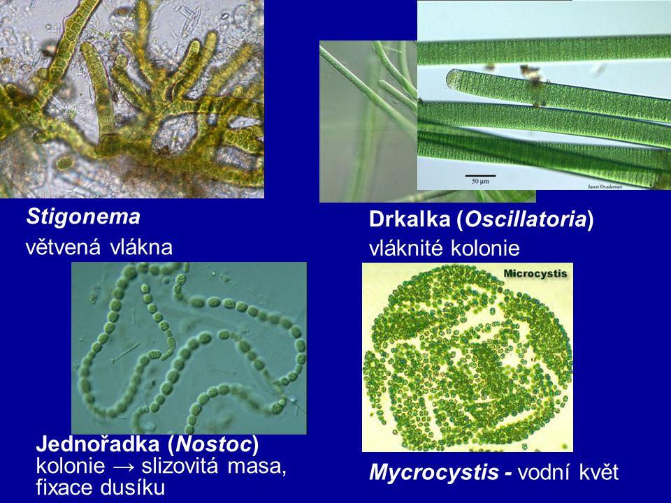 Jednořadka (Nostoc) kolonie → slizovitá masa, fixace dusíku Drkalka (Oscillatoria) vláknité kolonie Mycrocystis - vodní květ Stigonema větvená vlákna