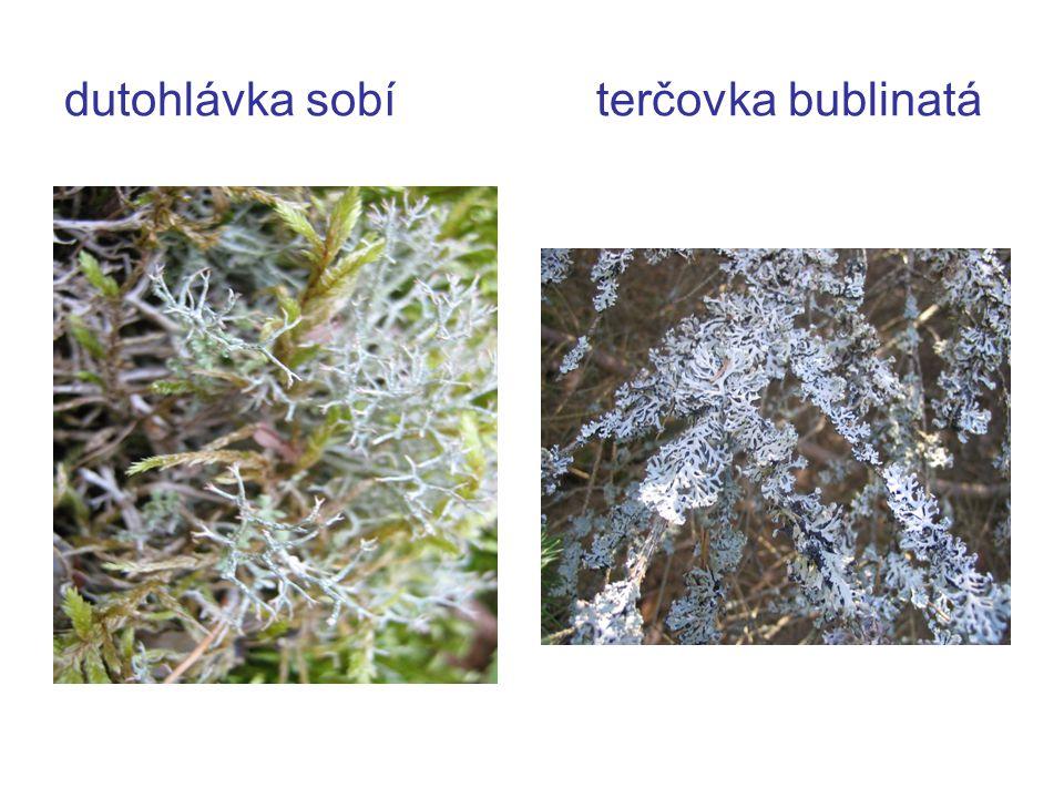 dutohlávka sobíterčovka bublinatá