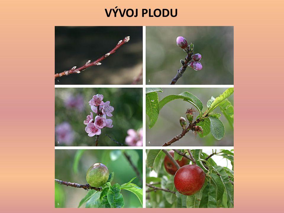 Plody ovocných stromů nazýváme souhrnně OVOCE.