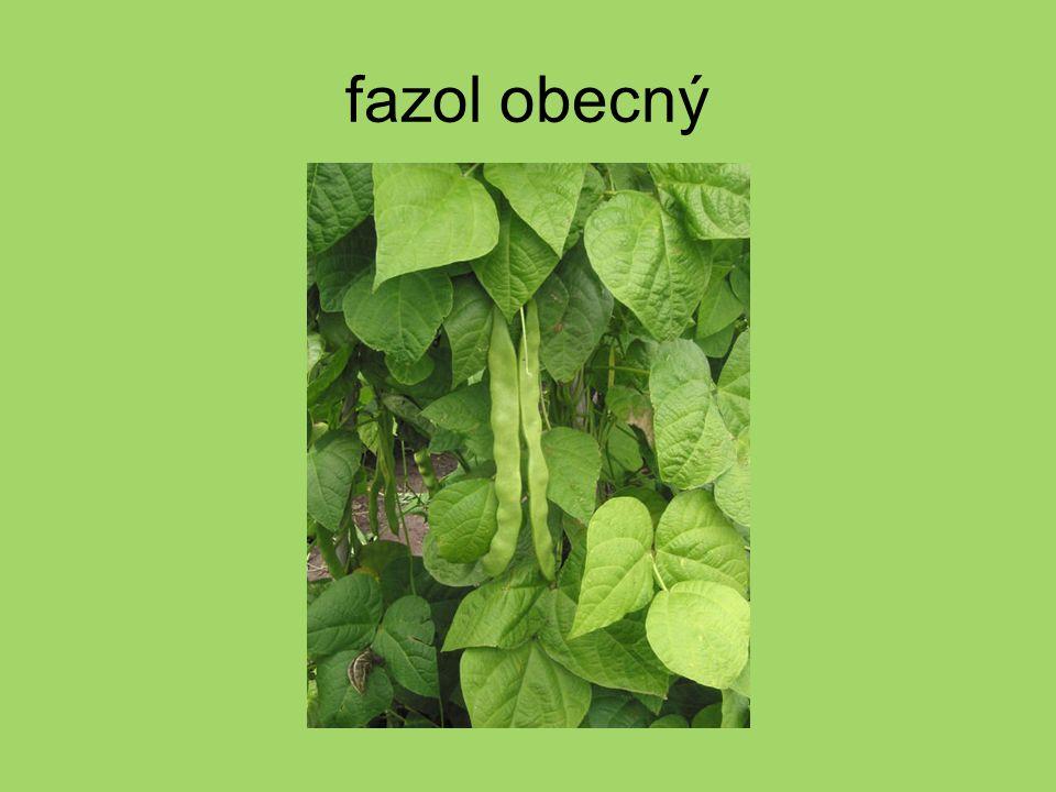 lupina mnoholistá = vlčí bob mnoholistý na zahradách se pěstují i jiné barevné kultivary
