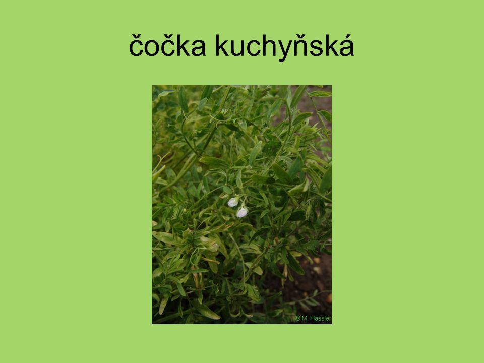 trnovník akát strom trny akátové porosty vytlačují ostatní rostliny medonosná rostlina (akátový med)