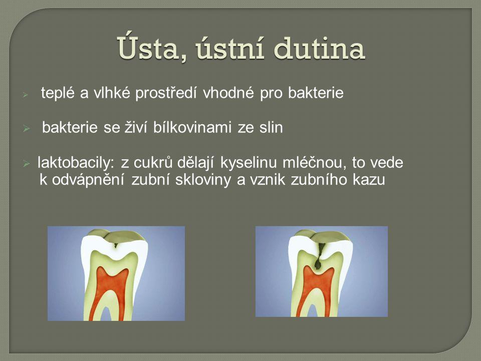  teplé a vlhké prostředí vhodné pro bakterie  bakterie se živí bílkovinami ze slin  laktobacily: z cukrů dělají kyselinu mléčnou, to vede k odvápnění zubní skloviny a vznik zubního kazu Ústa, ústní dutina
