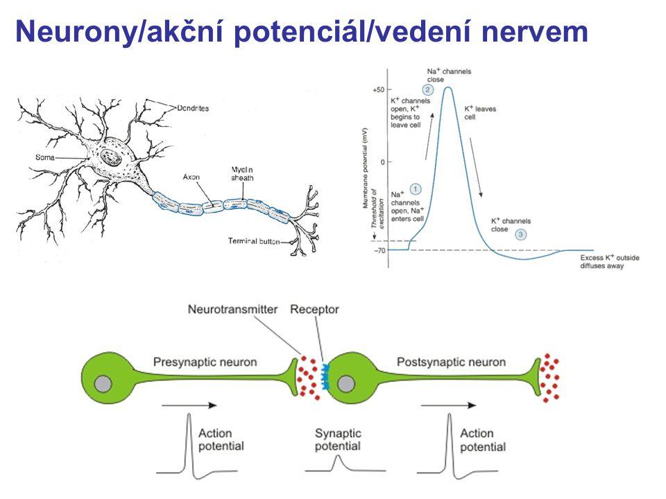 Neurony/akční potenciál/vedení nervem