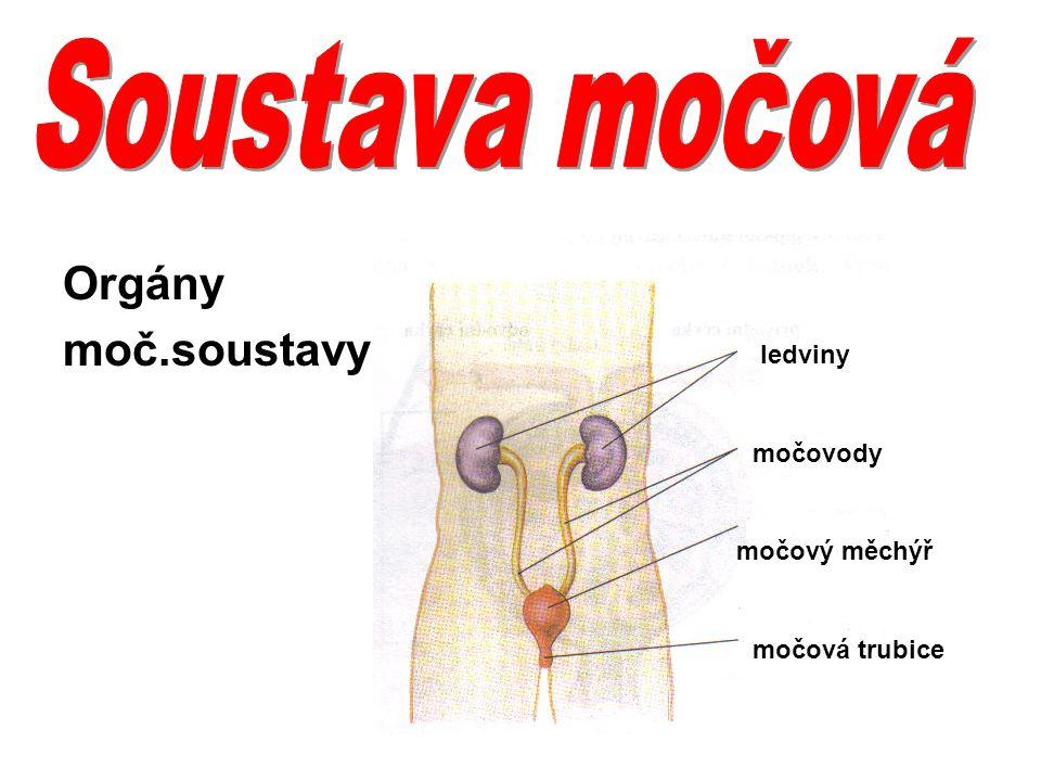 Orgány moč.soustavy ledviny močovody močový měchýř močová trubice