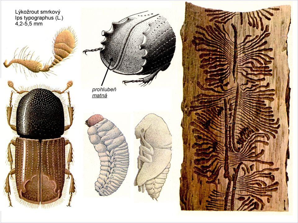 Lýkožrout smrkový celý vývoj za normálních podmínek trvá asi 10 týdnů stadium vajíčka 12 dní stadium larvy 24 dní stadium kukly 12 dní dospívání 24 dní při příznivých podmínkách, může vývoj trvat jen 6 týdnů, naopak při nepříznivých podmínkách až 12 týdnů imágo žije 2 – 3 měsíce