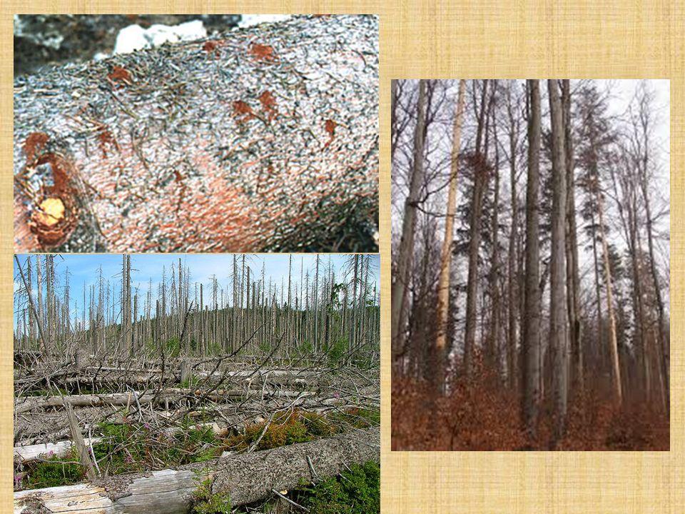 Lýkožrout smrkový Lapáky zdravé smrkové stromy o výčetní tloušťce nejméně 20 cm, pokud možno se šupinatou kůrou zakrývají se odříznutými větvemi, souvisle po celé délce 1 kontrolní lapák na 5 ha asanace
