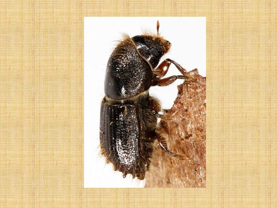 Lýkožrout smrkový rojení v podhorských oblastech koncem dubna až začátkem května, v horách koncem května až začátkem června brouci opouštějí svoje zimoviště po oteplení kůry a hrabanky nad 14 o C podle podmínek 1 – 2 pokolení do roka, za velmi příznivých podmínek i tři pokolení přezimují brouci, kukly, larvy