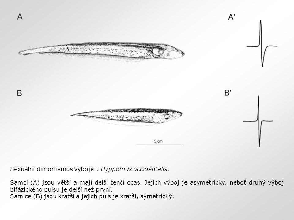 Sexuální dimorfismus výboje u Hyppomus occidentalis. Samci (A) jsou větší a mají delší tenčí ocas. Jejich výboj je asymetrický, neboť druhý výboj bifá