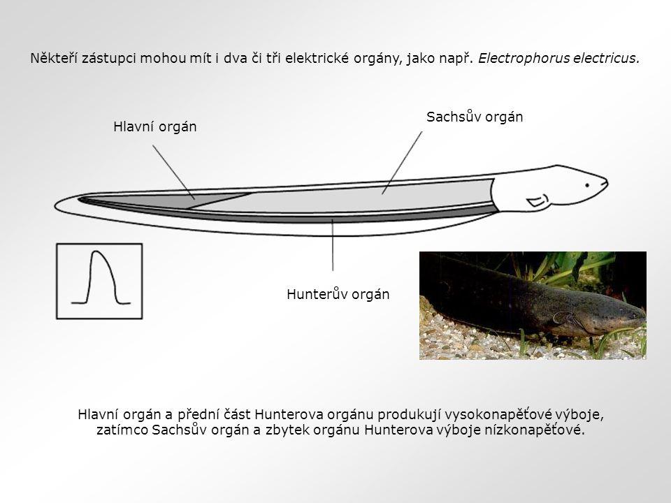 Někteří zástupci mohou mít i dva či tři elektrické orgány, jako např. Electrophorus electricus. Hlavní orgán a přední část Hunterova orgánu produkují