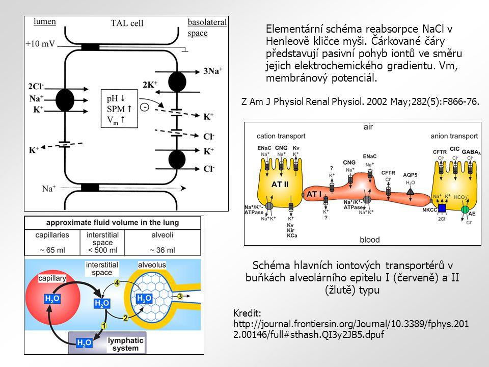 Elementární schéma reabsorpce NaCl v Henleově kličce myši. Čárkované čáry představují pasivní pohyb iontů ve směru jejich elektrochemického gradientu.
