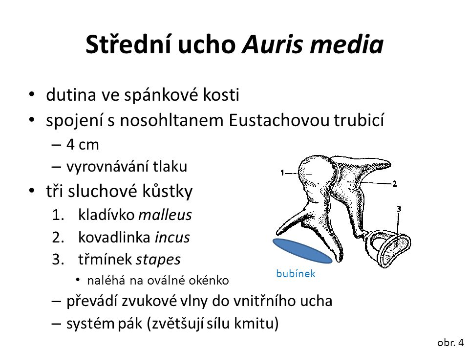 Střední ucho Auris media dutina ve spánkové kosti spojení s nosohltanem Eustachovou trubicí – 4 cm – vyrovnávání tlaku tři sluchové kůstky 1.kladívko malleus 2.kovadlinka incus 3.třmínek stapes naléhá na oválné okénko – převádí zvukové vlny do vnitřního ucha – systém pák (zvětšují sílu kmitu) obr.