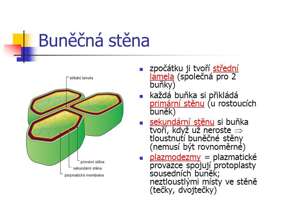Buněčná stěna zpočátku ji tvoří střední lamela (společná pro 2 buňky) každá buňka si přikládá primární stěnu (u rostoucích buněk) sekundární stěnu si buňka tvoří, když už neroste  tloustnutí buněčné stěny (nemusí být rovnoměrné) plazmodezmy = plazmatické provazce spojují protoplasty sousedních buněk; neztloustlými místy ve stěně (tečky, dvojtečky)