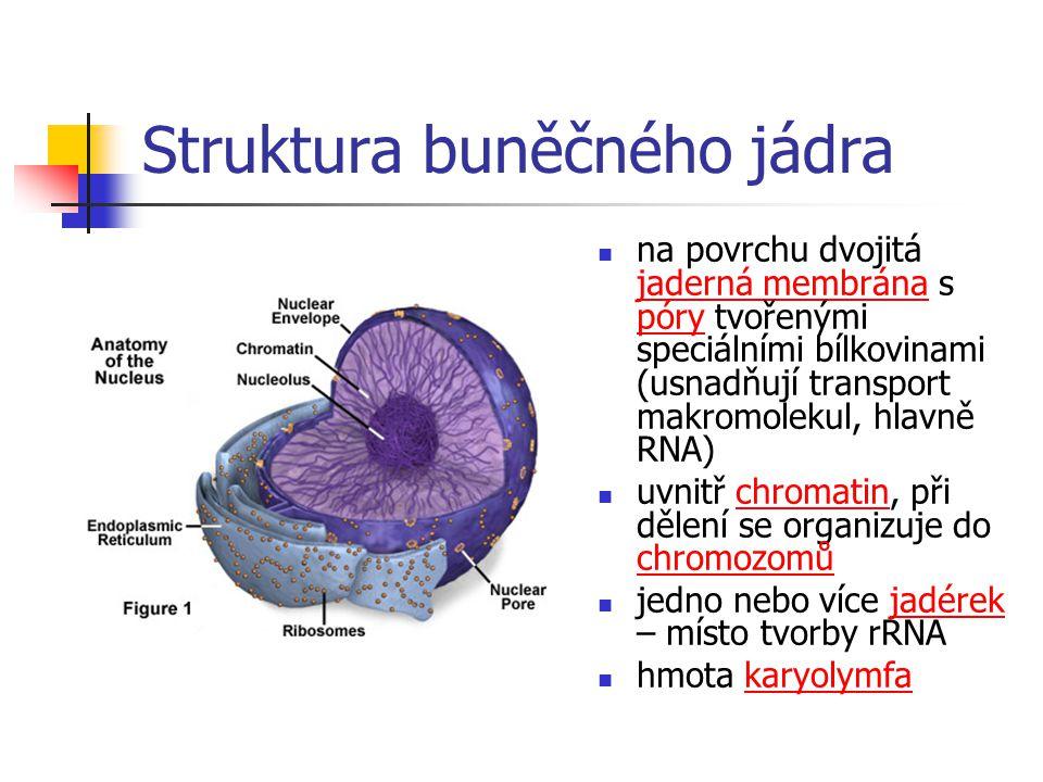 Struktura buněčného jádra na povrchu dvojitá jaderná membrána s póry tvořenými speciálními bílkovinami (usnadňují transport makromolekul, hlavně RNA) uvnitř chromatin, při dělení se organizuje do chromozomů jedno nebo více jadérek – místo tvorby rRNA hmota karyolymfa