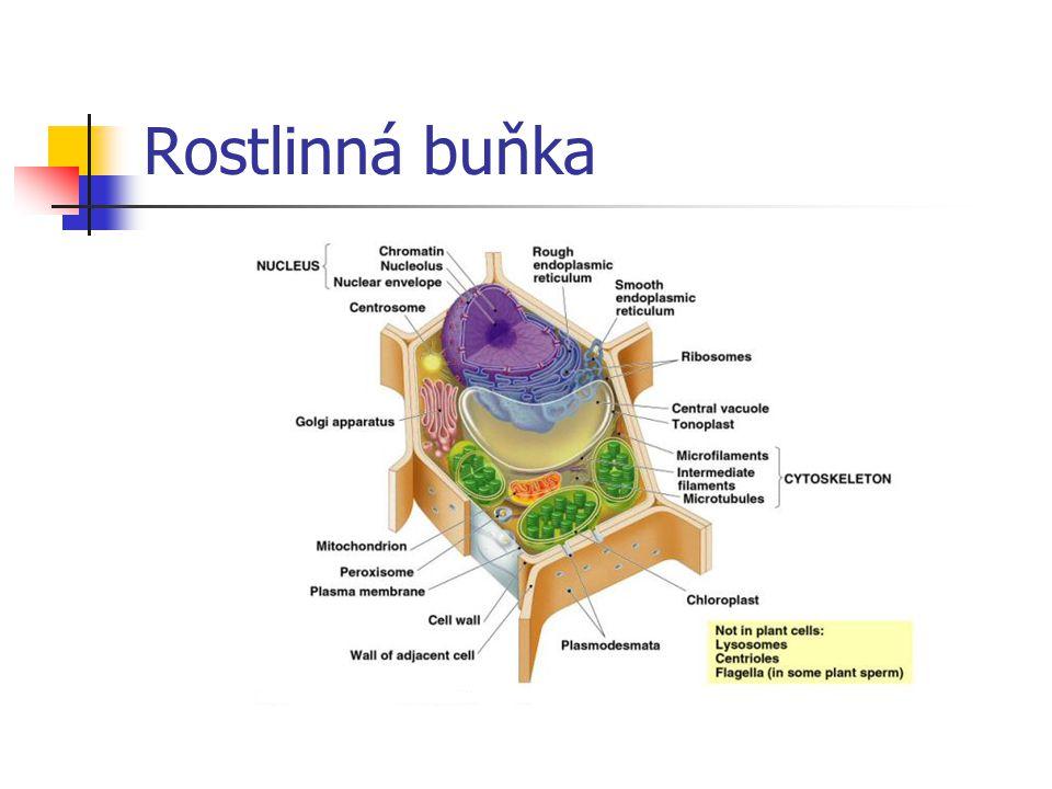 Centriola tubulární organela není u buněk vyšších rostlin (zahuštěná cytoplazma) poblíž jádra dvojice kolmo postavených válečků význam při dělení jádra  dělící vřeténko