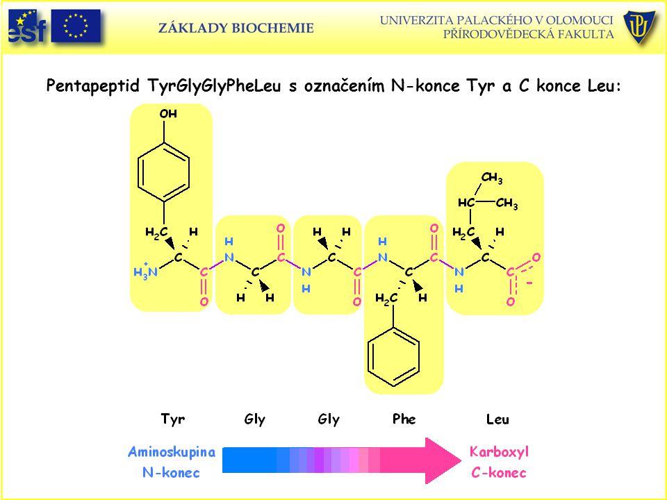Pentapeptid TyrGlyGlyPheLeu s označením N-konce Tyr a C konce Leu: